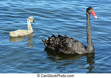 Female Black swan with her cygnet - Adult female Black swan...
