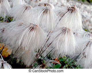 Alaska Cotton Grass - Close-up of Alaska cotton wildflowers...