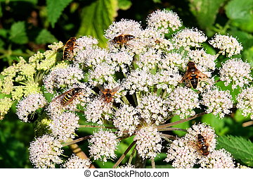 Bees on white flowers cow parsley