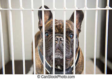 Dog in cage - French bull dog behind the bars in cage