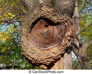 Gnarly Tree with tree rings
