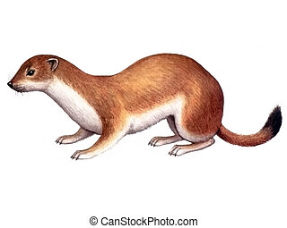 Animal Ermine - Colored drawing on the paper animal Ermine...