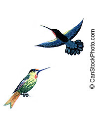 Bird Hummingbirds - Colored drawing on the paper bird...