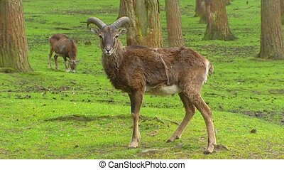 European mouflon ewe Ovis aries orientalis on camera