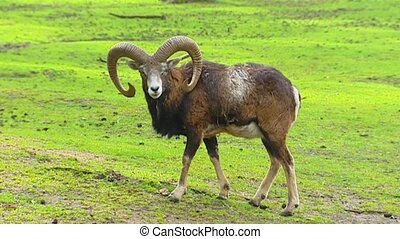 European mouflon ram Ovis aries orientalis on camera + walks...