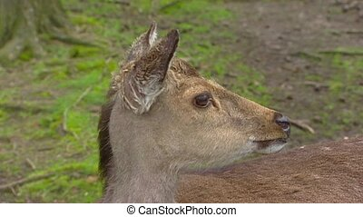 Fallow Deer (cervus dama) doe looks away over shoulder,...