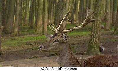 Fallow Deer buck (cervus dama) stag - on camera - Fallow...