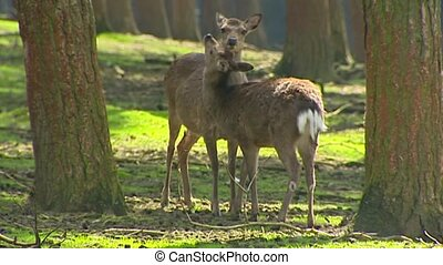 Fallow Deer (cervus dama) doe with offspring in forest. The...
