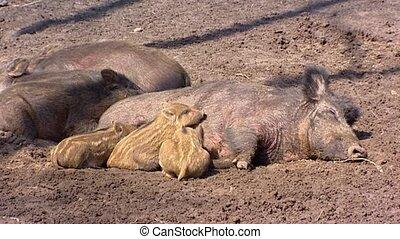 European wild boar with piglets (sus scrofa) litter lie in...