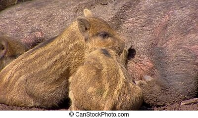 European wild boar (sus scrofa) sow with piglets suckling -...
