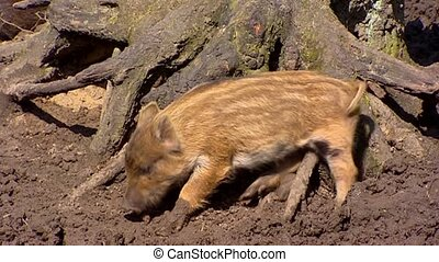 European wild boar piglet (sus scrofa) scrubs against stump....