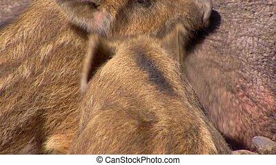 European wild boar piglets (sus scrofa)  suckling - close up
