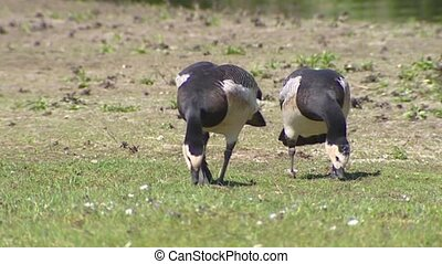 Barnacle goose - pair foraging - Barnacle goose Branta...
