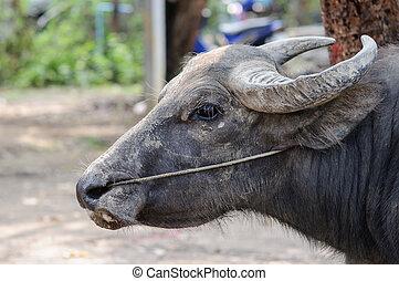 close up Buffalo Thai
