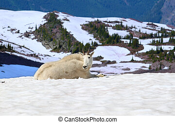 Mountain Goat Glacier National Park - Mountain Goat...