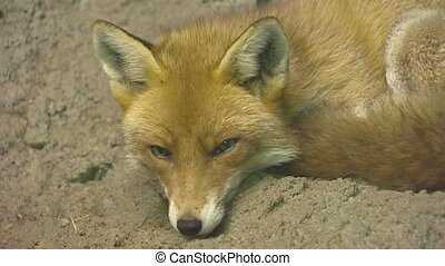 Red fox vulpes vulpes lies in sand - medium shot The red fox...