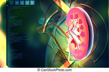Kidney - Digital illustration of kidney in colour background...