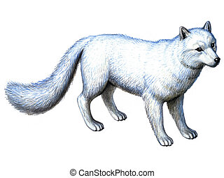 Animal Arctic Fox - Colored drawing on the paper animal...