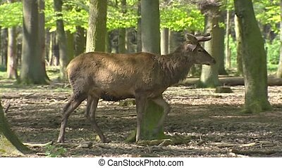 Red Deer stag (cervus elaphus) velvet in forest - tracking...