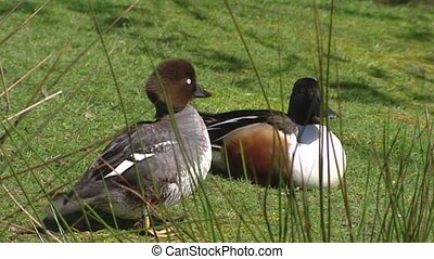 Barrows Goldeneye and Northern Shoveler - Barrows Goldeneye...