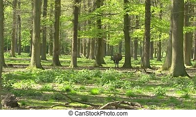 Red Deer stag cervus elaphus velvet stands in beech forest -...