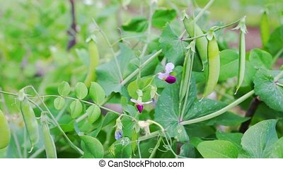 Seed-pods of pea fruits Pisum sativum closeup view - Small...