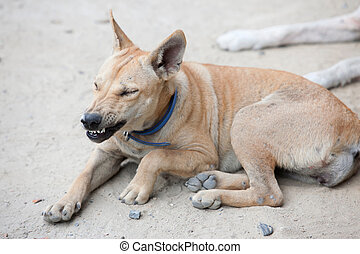 angry dog with bared teeth in Thailand