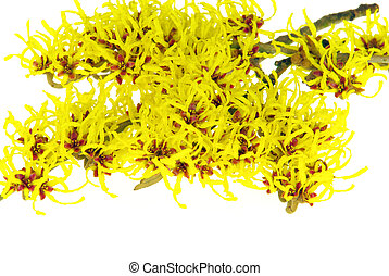 Hamamelis isolated 18
