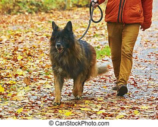 German shepherd walking in the park with his master