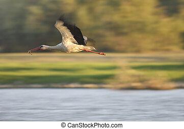 stork flying over the river ebro