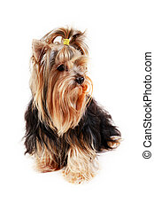 Yorkshire terrier - Portrait of yorkshire close-up on white...