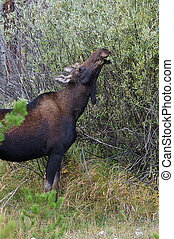 Female Moose Eating