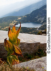 Dry leaves of Yellow Gentian Gentiana lutea - Dry leaves of...