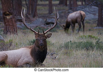 Two Elk in Rocky Mountain National Park - Two elk sit and...