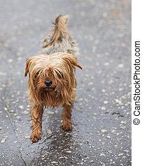 Stray dog in the rain - Unhappy shaggy stray dog running...