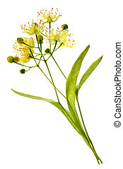 Linden flower - Isolated image of yellow linden flower and...