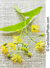 Linden flower - closeup image of yellow linden flower and...