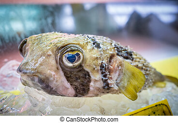 Japanese fugu fish or pufferfish