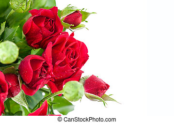 Bunch red roses greeting card Isolated on white background