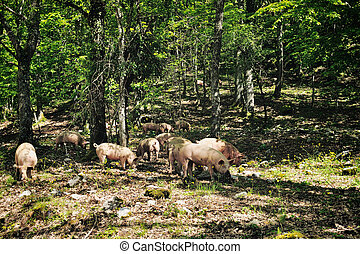Pigstry - Herd of italian pigs eating acorns of oaks in the...
