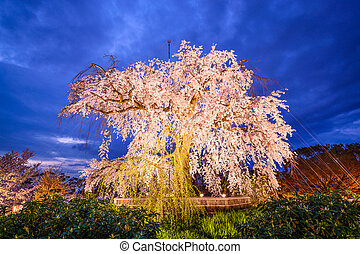 Maruyama Park in Kyoto, Japan during the spring cherry...