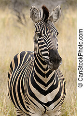 Plains Zebra, Burchells Zebra in the African bush, South...