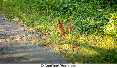 red squirrel carrying nut standing up at high grass -...