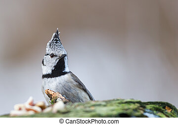 Check my Crest - The Crested Tit (Parus cristatus) in...