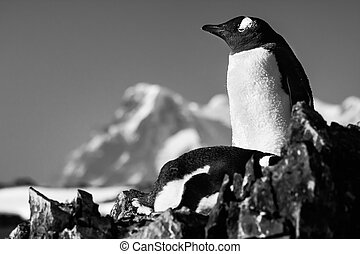 Two penguins on a rock