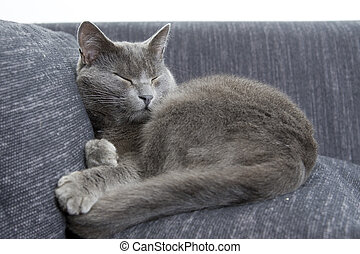 gray cat on a sofa - sleepy gray cat on a sofa