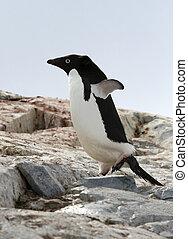 Adelie penguin pygoscelis adeliae on Petermann Island,...