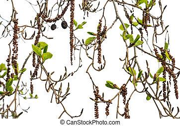 brotes, ramas, primavera, hojas, aliso, aislado, Plano de...