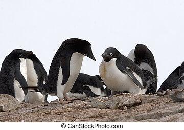 Adelie penguin Pygoscelis adeliae greeting its mate on...