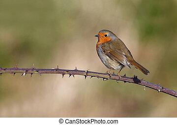 Robin, Erithacus rubecula, single bird on perch,...